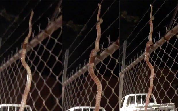 This Snake Can Hold Onto A Fkn Chainlink Fence & Slither Upwards Oh God
