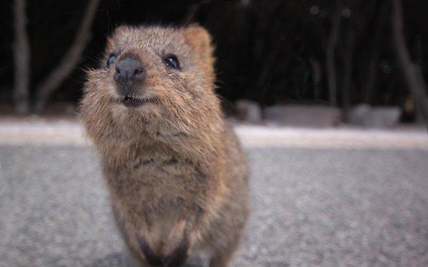 Hunt On For Oddly Clever Quokka Who Somehow Escaped Rottnest Island By Boat
