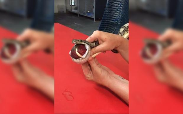 WATCH: 1.5 Metre Carpet Python Has A Tennis Ball Massaged Out Of Its Gob