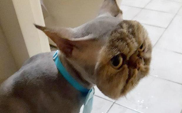 Cast your gaze upon this morose cat its truly unthinkable haircut cast your gaze upon this morose cat its truly unthinkable haircut winobraniefo Images