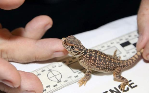 Two QLD Men Charged After Cops Find 30 Rare Reptiles In Back Of Their Car
