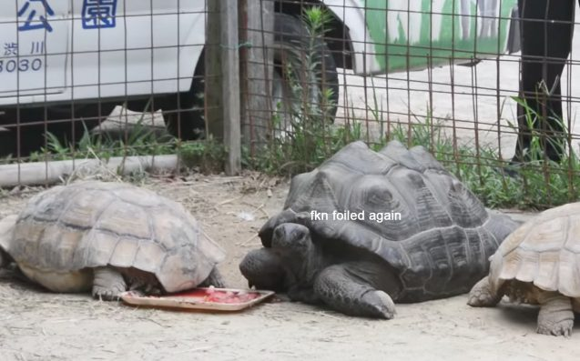 Tortoise Escapes Zoo, Found 1/10 Of A Mile Away 2 Weeks Later