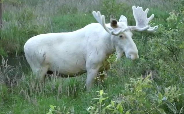 Rare white moose filmed in Sweden