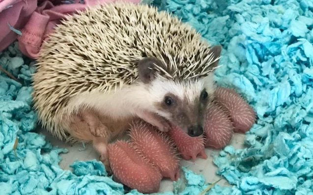 IMPORTANT: Baby Hedgehogs Look Like Teeny Wrinkly Ballsacks