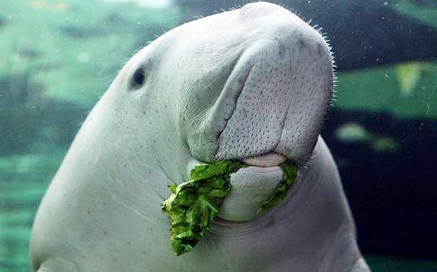 Image result for dugong pig sydney