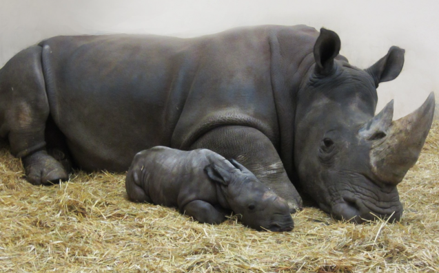 Toronto Zoo Welcomes Extremely Precious White Rhino Baby For Christmas