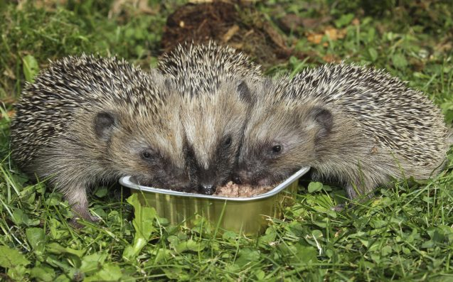 Wildlife Hospital Nobly Takes On Task Of Helping Tubby Hedgehogs Lose Weight