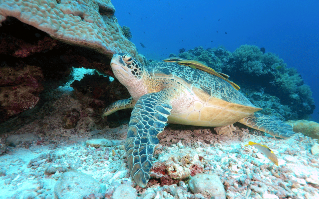 Climate Change Is Turning Our Green Turtle Population Mainly Female