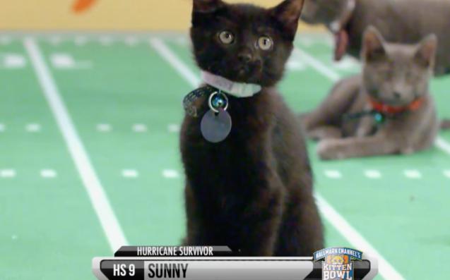 Introducing Sunny, Kitten Bowl V's Three-Legged Superstar Foster Kitty