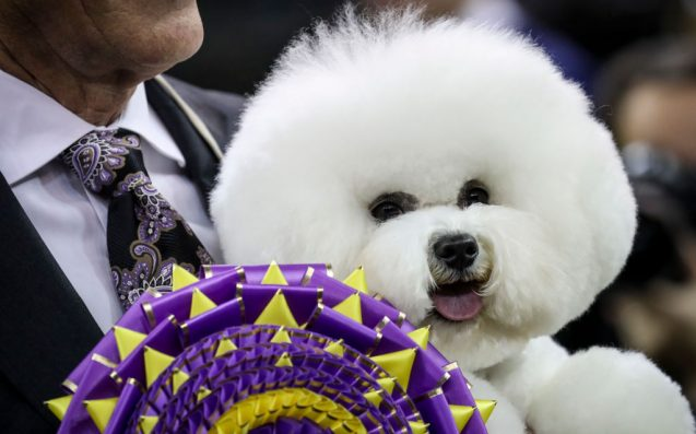 People Are Spitting It About A Bichon Frise / Actual Cloud Winning Westminster