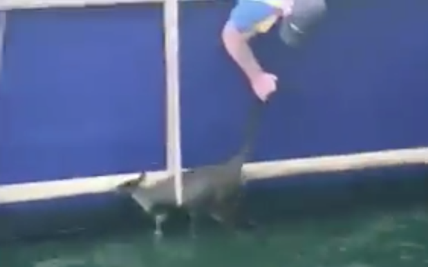 Manly Ferry Staff Rescue An Idiot Wallaby Which Hopped Into The Sea