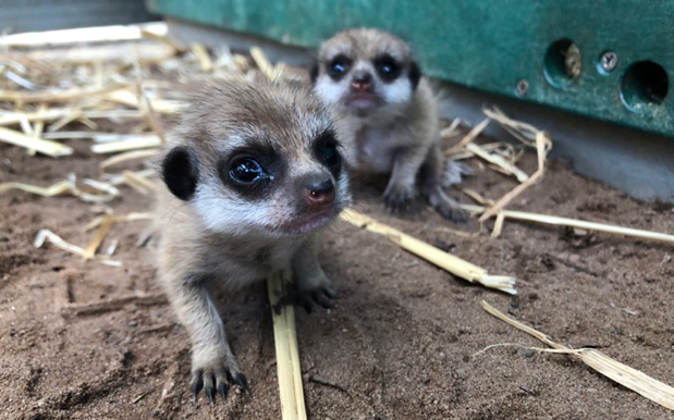 Please Say A Gentle G'Day To Taronga Zoo's Precious New Meerkat Pups