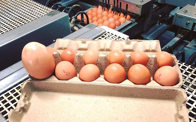 Chicken lays giant egg with another egg inside