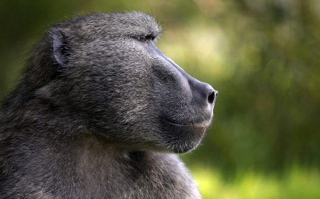 Four baboons escape animal research centre after propping barrel against wall