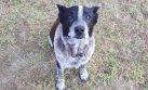 Senior Doggo Stays With Lost 3 Y.O. Human Overnight In Cold Bushland