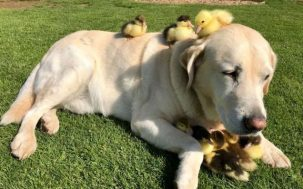Not Sure About The Science Here But This Dog Adopted 9 Orphaned Ducklings