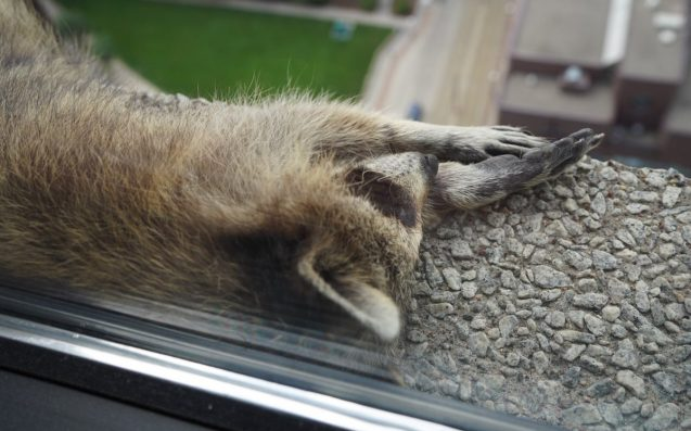 Where Is Minneapolis Raccoon Now? The Little Climber Has Been Safely Captured